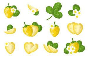 Satz Illustrationen mit exotischen gelben Erdbeerfrüchten, Blumen und Blättern lokalisiert auf einem weißen Hintergrund. vektor