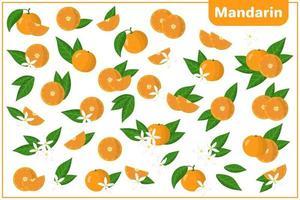 Satz Vektorkarikaturillustrationen mit exotischen Früchten, Blumen und Blättern der Mandarine lokalisiert auf weißem Hintergrund vektor