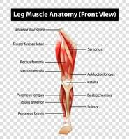 Diagramm, das die Vorderansicht der Beinmuskelanatomie zeigt vektor