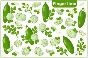 Satz von Vektorkarikaturillustrationen mit exotischen Früchten, Blumen und Blättern der Fingerlimette lokalisiert auf weißem Hintergrund vektor
