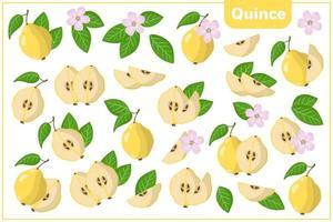 Satz Vektorkarikaturillustrationen mit exotischen Quittenfrüchten, -blumen und -blättern lokalisiert auf weißem Hintergrund vektor