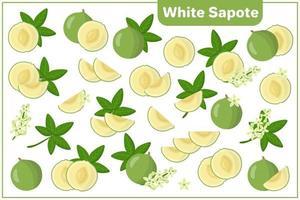 Satz Vektorkarikaturillustrationen mit exotischen Früchten, Blumen und Blättern des weißen Sapote lokalisiert auf weißem Hintergrund vektor