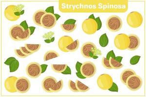 uppsättning vektor tecknad illustrationer med strychnos spinosa exotiska frukter, blommor, blad isolerad på vit bakgrund