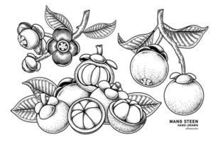 uppsättning mangostan frukt handritade element botaniska illustration vektor