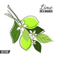 isolierte Zusammensetzung mit Zweigen und Früchten einer Linde auf einem weißen Hintergrund vektor