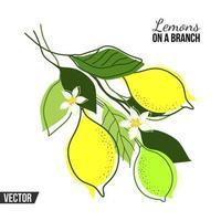 isolerad komposition med citronträdgrenar och frukter på en vit bakgrund vektor