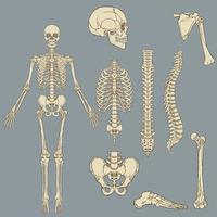 Vektorzeichnung der menschlichen Skelettstruktur vektor