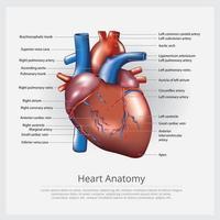 Anatomievektorillustration des menschlichen Herzens vektor