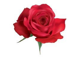 Rose lokalisiert auf weißem Hintergrund vektor
