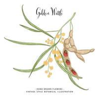 Zweig des goldenen Fleisches oder der Akazie pycnantha mit Blumenblättern und Hülsen handgezeichnete botanische Illustrationen dekoratives Set vektor
