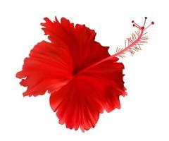 rote Hibiskusblüte isoliert auf weißem Hintergrund vektor