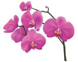 lila Phalaenopsis-Orchideen auf isoliertem Hintergrund. Vektoreps 10 vektor