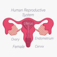 Anatomiediagramm des weiblichen menschlichen Fortpflanzungssystems vektor