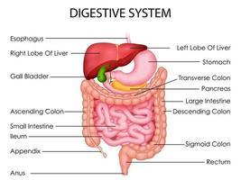 Illustration des Gesundheitswesens und der medizinischen Ausbildung, das Diagramm des menschlichen Verdauungssystems für das Studium der Wissenschaftsbiologie zeichnet vektor