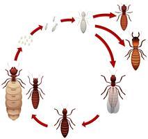 En termit livscykel vektor