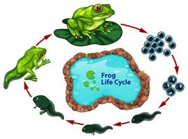 Der Froschlebenszyklus vektor