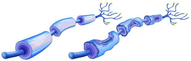 Humane Nervenzelle und periphere Neuropathie vektor