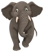 Wild elefant på vit bakgrund