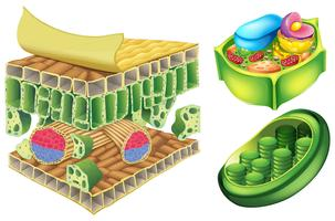 Växtceller vektor