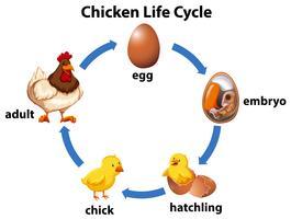 Vetenskaplig kyckling livscykel vektor