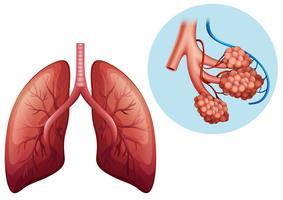 mänsklig anatomi av mänsklig lunga vektor