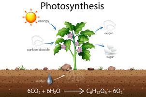 Fotosyntesförklaring vetenskapschema vektor