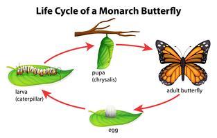 Monarkfjäril vektor