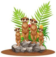 Fyra meerkats som står på sten