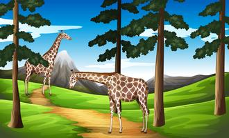 Giraffer i skogen vektor