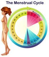 Ein Vektor des Menstruationszyklus