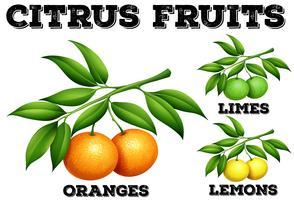 Citrusfrukter på grenar