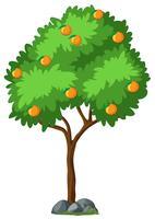 Getrennter Orangenbaum auf weißem Hintergrund vektor