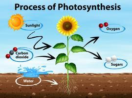Diagram som visar processen med fotosyntes