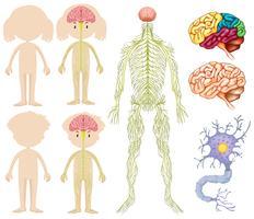 Anatomi av liten pojke och tjej