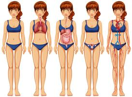 En kvinna kropp och anatomi