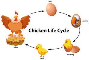 Hühnerlebenszyklusdiagramm vektor
