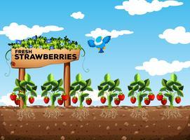 Erdbeerfeld tagsüber