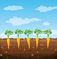 Unterirdische Karotten mit Wurzeln