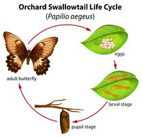 Obstgarten Schwalbenschwanz Lebenszyklus vektor
