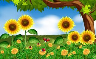 Solrosor och nyckelpigor i trädgården vektor