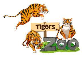 Tre tigrar i djurparken vektor