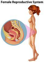 En kvinnlig anatomi av reproduktionssystemet vektor