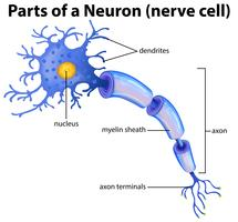 Teil eines Neuron-Diagramms vektor