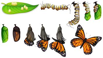 Der Lebenszyklus des Schmetterlings vektor