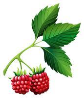 Färska Rasberries med stam