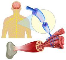 Menschliche gesunde Muskelnerven