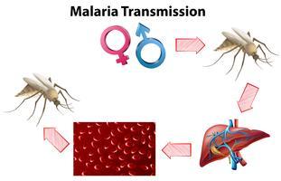 Malaria Transmissionsdiagram utan text vektor