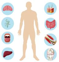 Anatomie des menschlichen Organs Körperteil vektor