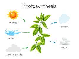 En vektor av växtfotosyntesen