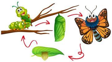 Schmetterlingslebenszyklusdiagramm vektor